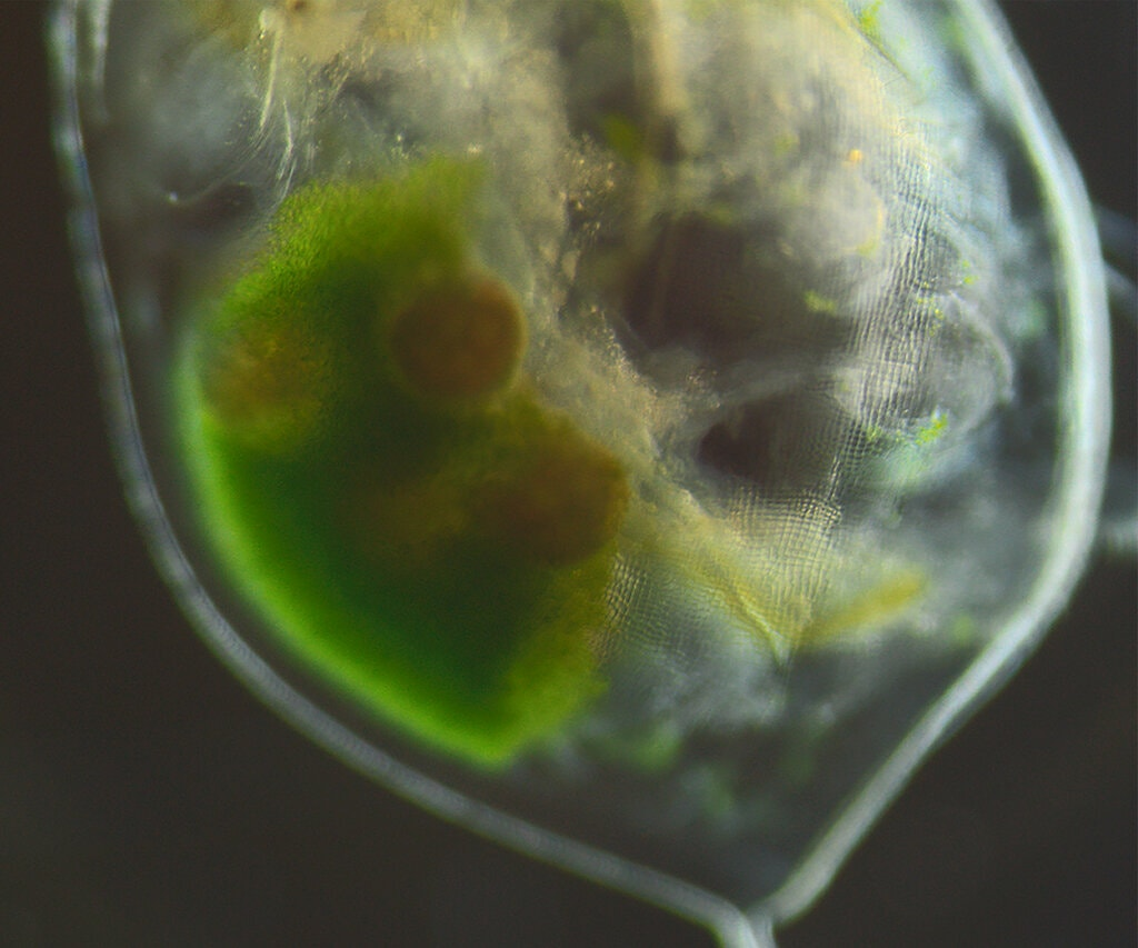 דפניה שמכילה את תאי האצות במערכת הרבייה שלה, קרדיט: Dania Albini
