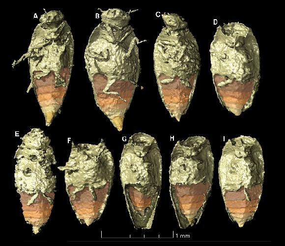 בחלק מהחיפושיות השתמרו אפילו איברים עדינים כמו רגליים ומחושים. החיפושיות שהתגלו בהדמיה   מתוך מאמר המחקר של Qvarnström et al