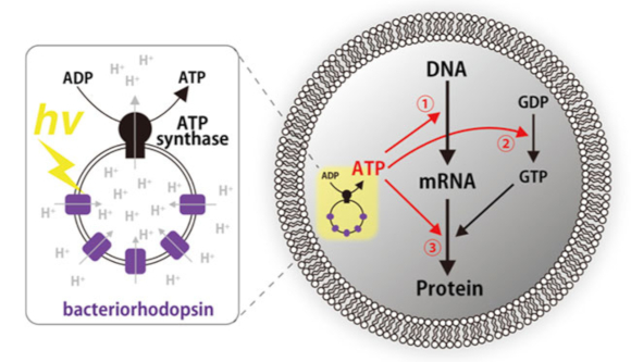 תרשים של התא המלאכותי (מימין) עם פירוט של מערכת ה-ATP סינטאז ובקטריורדודפסין | מקור: המכון הטכנולוגי של טוקיו