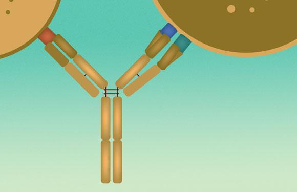 נקשר בזרוע אחת לחלבון של תא T, ובשתיים אחרות לחלבונים על התא הסרטני. הנוגדן התלת-כיווני | איור: מריה גורוחובסקי