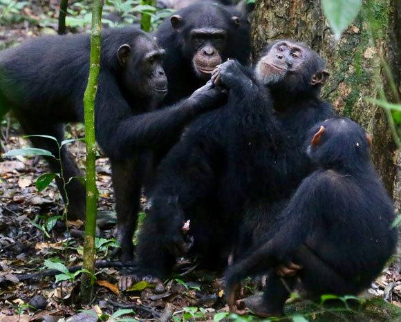 Schimpansen der Elfenbeinküste teilen sich das Essen | Foto: © Liran Samuni, Taï-Schimpansenprojekt
