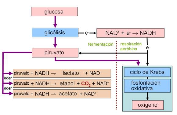 Procesos de respiración y fermentación | Diagrama: Wikipedia