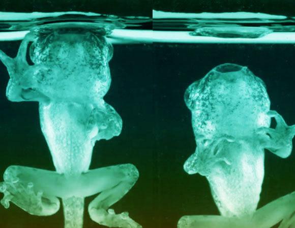 ראשן מגודל נצמד לפני המים | צילום מסך מסרטון מתוך המאמר Schwenk, K.; Phillips, J.R. (2020)