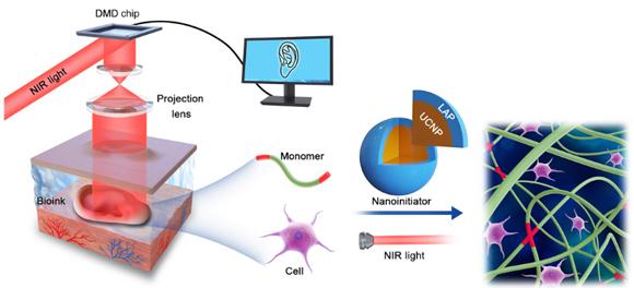 הדפסה בעזרת אור תת-אדום (משמאל) מאפשרת התארגנות של פולימרים ותאים במבנה הרצוי, במקרה זה - אפרכסת האוזן | איור מתוך מאמר המחקר