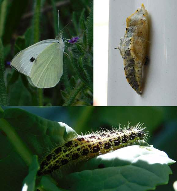 חיית בר שמותר לגדל, אבל גם היא דורשת השקעה וטיפוח, ואפשר פשוט לצפות בה בטבע: לבנין הכרוב (Pieris brassicae), זחל, גולם ובוגר | איגור ארמיאץ' שטיינפרס