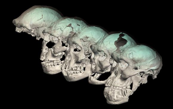גולגולות של הומו ארקטוס מגאורגיה ושחזור מבנה מוחם | צילום: M. Ponce de León and Ch. Zollikofer, University of Zurich