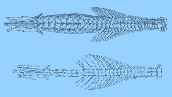 עמוד השדרה של החדף המשוריין (למעלה) בהשוואה לזה של חדף רגיל | מקור: Bulletin of the American Museum of Natural History, נחלת הכלל