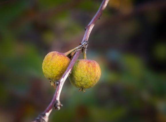 פירותיו של תפוח הבר | Shutterstock, Ron Ramtang
