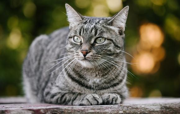 חתול בית בטבע   צילום: Karrrtinki, Shutterstock