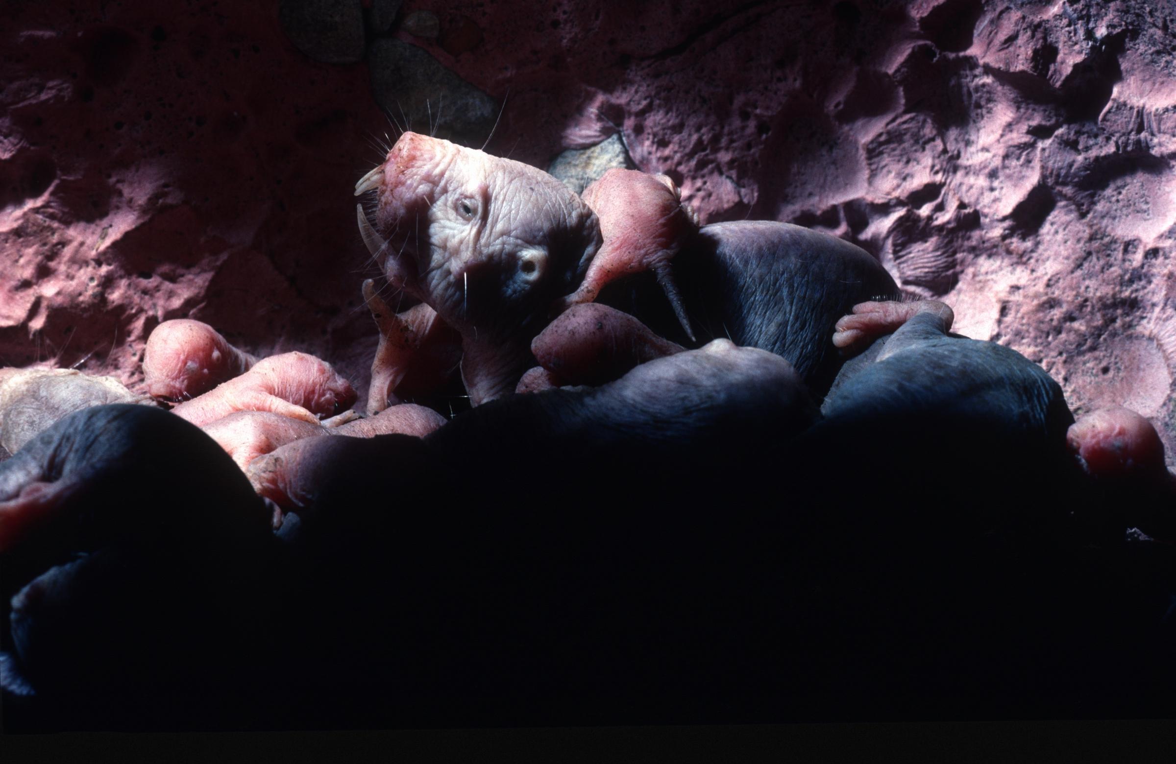 משפחה של חולדים עירומים, shutterstock