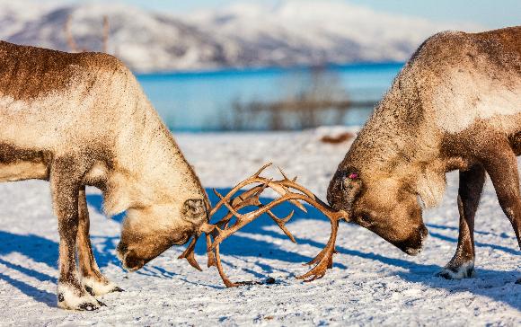 איילי צפון בודקים למי יש קרניים חזקות יותר | Shutterstock, BlueOrange Studio
