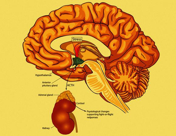 שיתוף פעולה בין מערכת העצבים למערכת האנדוקרינית. אזורים במוח ובלוטת יותרת הכליה המעורבים בתגובת דחק | איור: Shutterstock