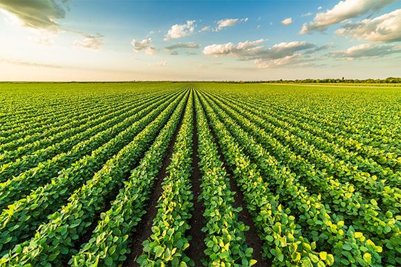 גידול חיידקים מאפשר לנצל את אותו שטח להפקת כמויות חלבון גדולות פי 13 לפחות. שדה סויה גדול | צילום:  oticki, Shutterstock