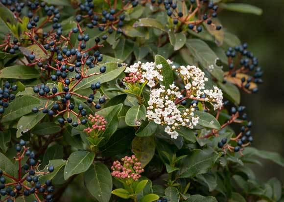 שיח מורן החורש עם פרחים ופירות | Shutterstock, Stefan Rotter
