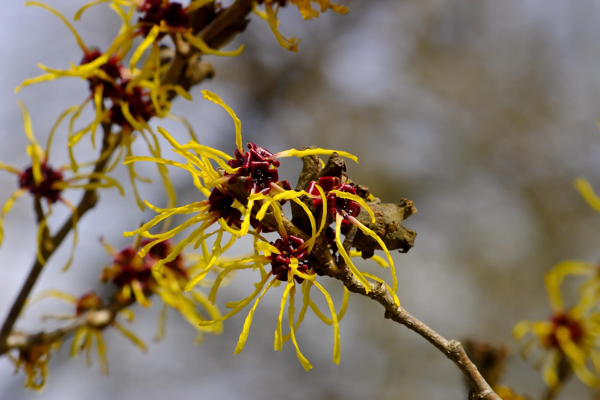 עץ הממליס מוליס