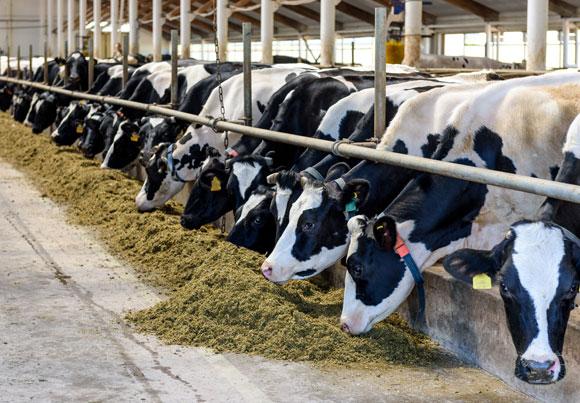 80 אחוז מהאנטיביוטיקה שנמכרת בארצות הברית מיועדת לשימוש מונע בחיות משק. פרות ברפת | צילום: Shutterstock