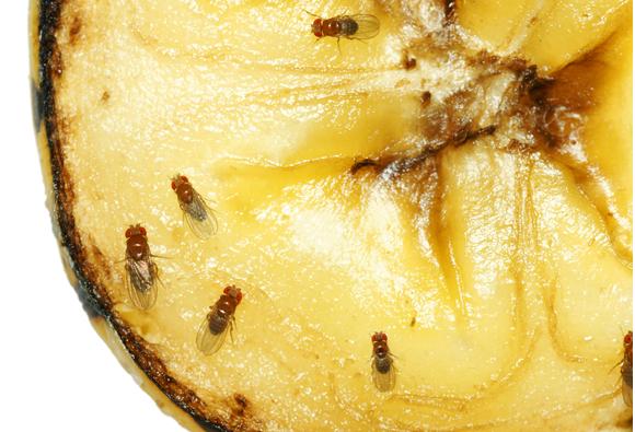 זבובי דרוזופילה על בננה מרקיבה | צילום: Sylvie Bouchard, SHutterstock