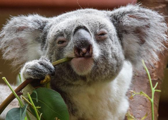 החיות מוגנות בחוק, אבל לא האקליפטוסים המשמשים להן בית גידול יחיד | קואלה אוכלת. צילום: Shutterstock