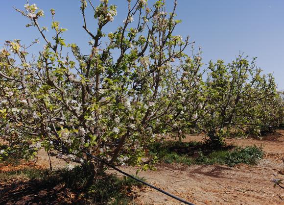 אביב במטע תפוחים בקיבוץ בנגב | Shutterstock, barmalini