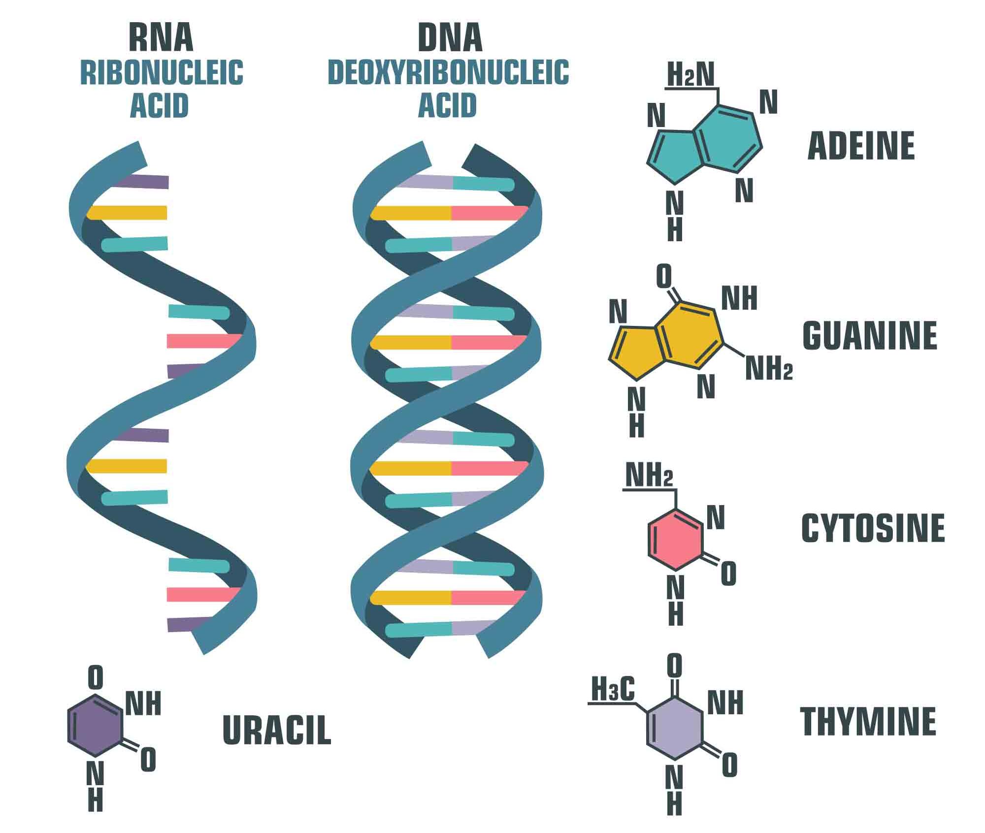 DNA vs. RNA   Image: ShadeDesign, Shutterstock