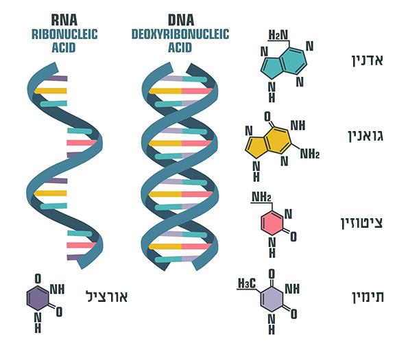 DNA מול RNA | אילוסטרציה: Shutterstock, ShadeDesign