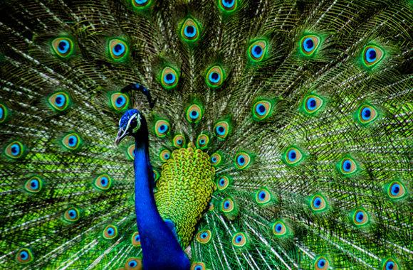 טווס הודי – הירוק והכחול נוצרים משבירת האור | Kandarp, Shutterstock