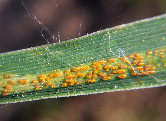 חלפו 30 שנה מגילוי הגן לעמידות עד לזיהוי מנגנון הפעולה המגן על הצמחים. פטריית החילדון הצהוב בחיטה | צילום: Shutterstock