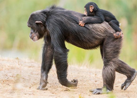 נקבת שימפנזה הולכת על ארבע עם גור על הגב