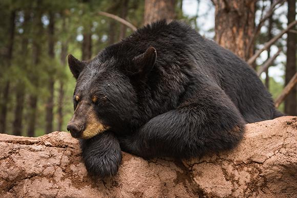 דוב שחור בזמן תנומה קלה יותר | Shutterstock, TangoFoxtrot2018