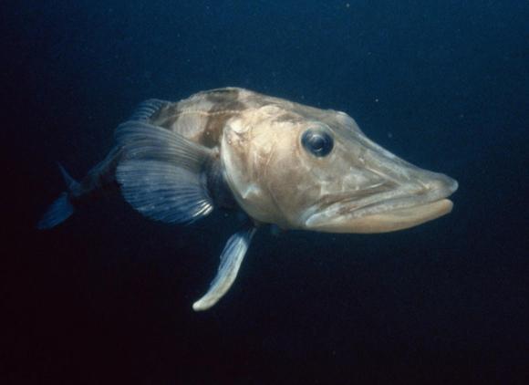 דג הקרח שחור הסנפיר | Shutterstock