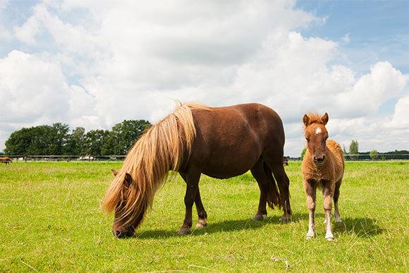 סוסה וסייח מגזע פוני שטלנד, זן של סוס הבית, שהוא תת-מין של הסוס הרמכי   Shutterstock,  Ivonne Wierink