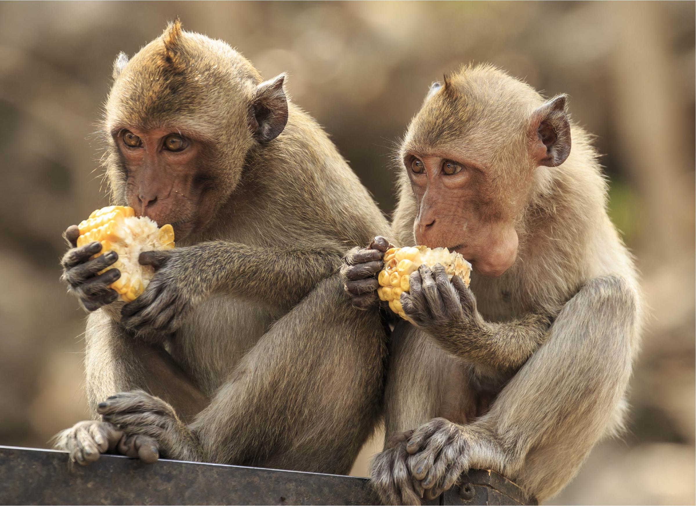 קופי מקוק ארוכי זנב אוכלים זה לצד זה | Shutterstock, rujithai