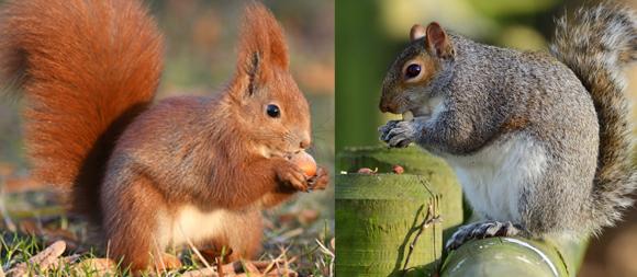 סנאי אפור וסנאי אדום מפצחים אגוזים | Shutterstock