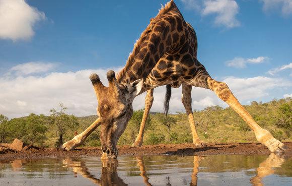 ג'ירפה מתכופפת לשתות | Shutterstock, Wim Hoek