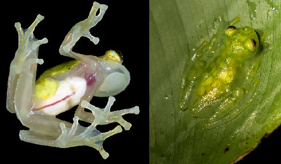 יותר קשה לראות בעין את הצפרדע בעלת הבטן השקופה. צפרדע זכוכית בצילום מלמטה, ומוסווית על עלה במבט מלמעלה | צילומים: Dr Morley Read,  Rob Jansen, Shutterstock
