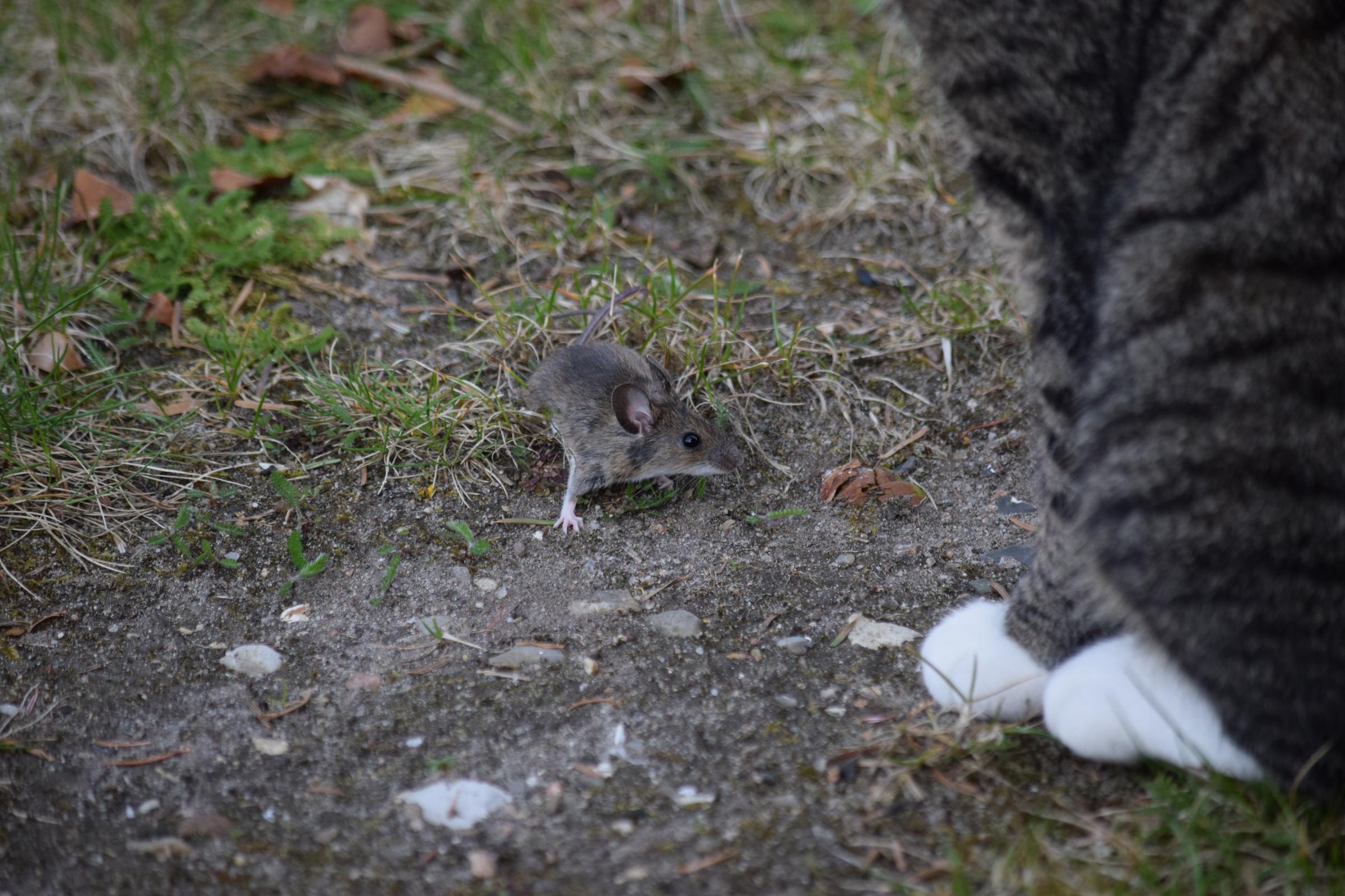הטפיל גורם לעכברים וחולדות לאבד את הפחד מחתולים, מגדיל את סיכוייהם להיטרף ואת סיכוייו שלו לחזור למעי חתול | צילום: Shutterstock