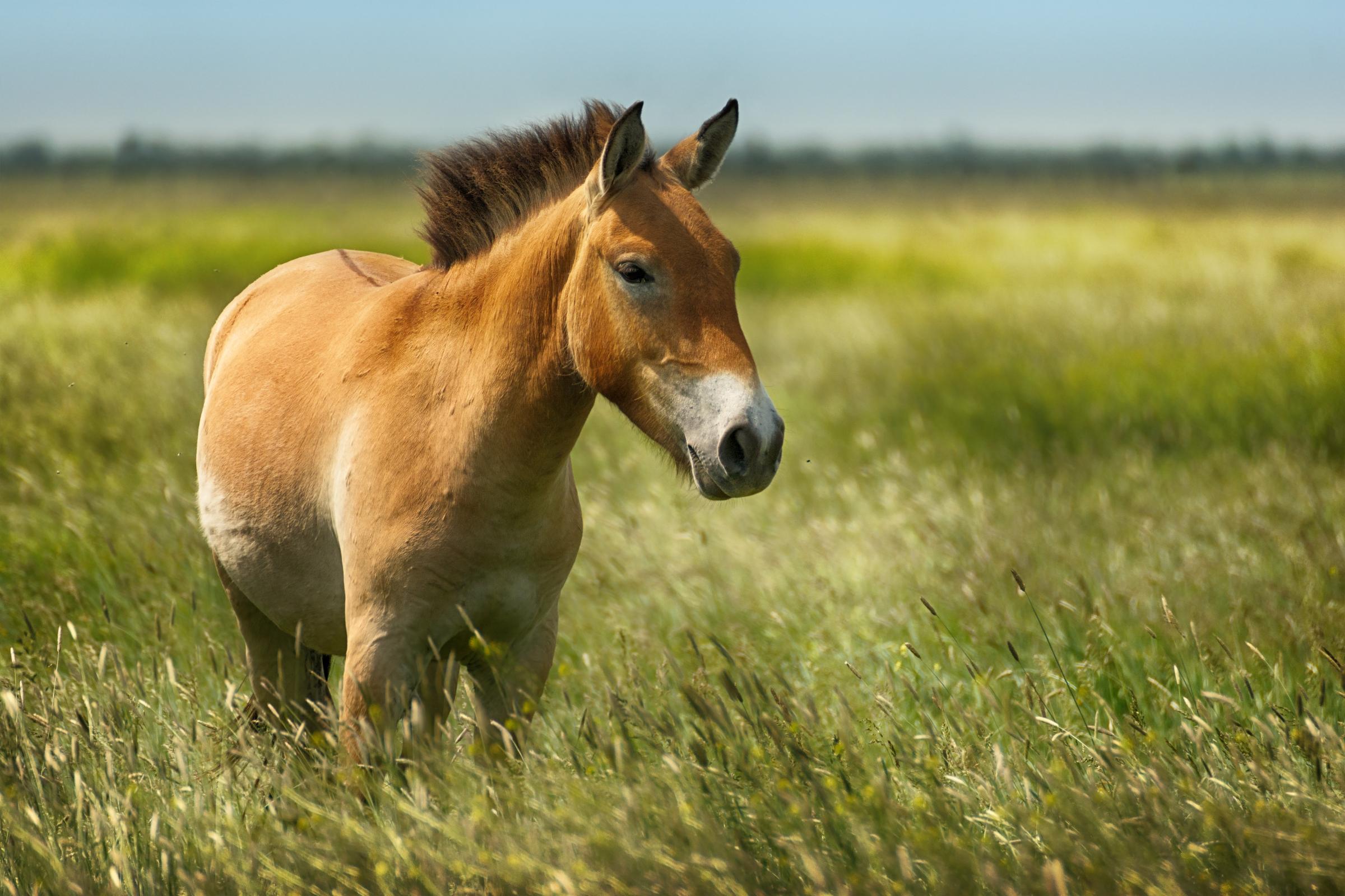 סוס פז'בלסקי בשמורת טבע באוקראינה | shutterstock