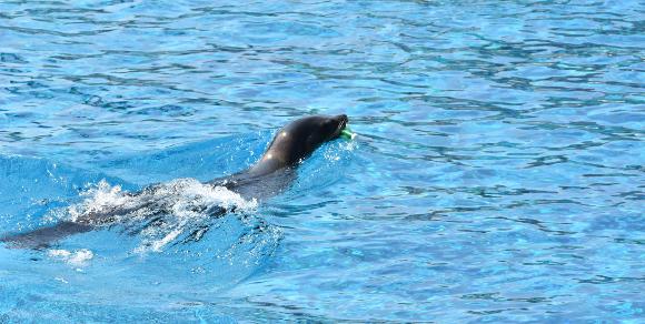 פלסטיק מסכן חיים. אריה ים בקליפורניה עם בקבוק בפיו | צילום: Shutterstock