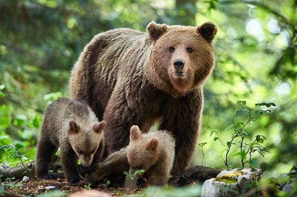הדבש מעשיר את התפריט של הדובים בתוספת משמעותית של חלבון ושומן. צילום: Piotr Krzeslak Shutterstock