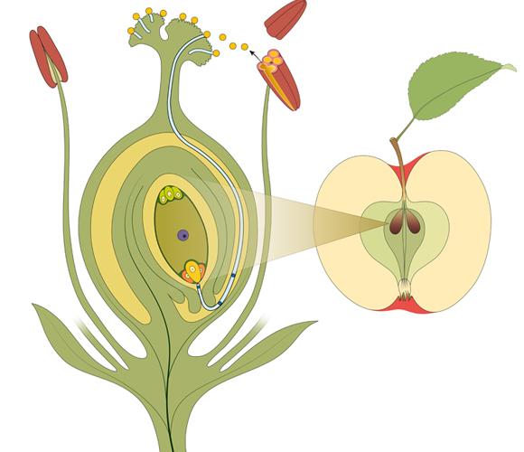 אילוסטרציה של התפתחות הפרח לפרי | Shutterstock, Aldona Griskeviciene