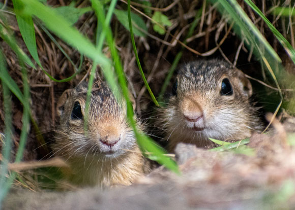 לא צמאים, למרות שהם אינם שותים חצי שנה ומאבדים מים לסביבה. סנאי קרקע מציצים מהמאורה | צילום: Shutterstock