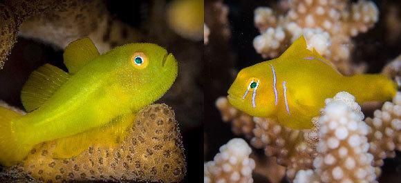קברנונית לימונית (מימין) וסיקוסית צהובה (משמאל) | צילום: Madelein Wolfaardt (right), Mike Workman (left), Shutterstock