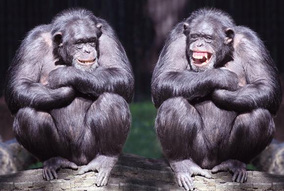 שמעת שאנו דומים גם לבני אדם וגם לחולדות? זה קורע! שימפנזים צוחקים | צילום אילוסטרציה: Shutterstock
