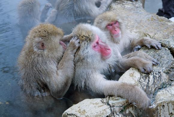 קופי מקוק יפני מבצעים גרומינג, שכולל פליית כינים זה מזה | Shutterstock