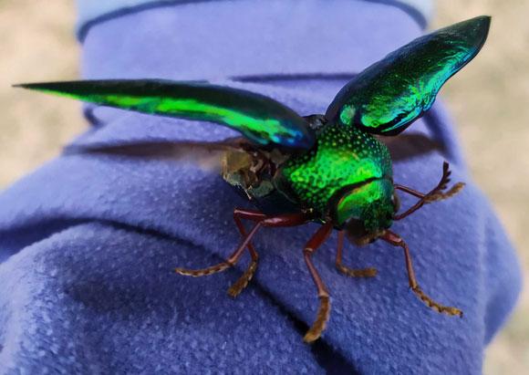 חיפושית ברקנית מתכוננת להמראה | צילום: Shutterstock