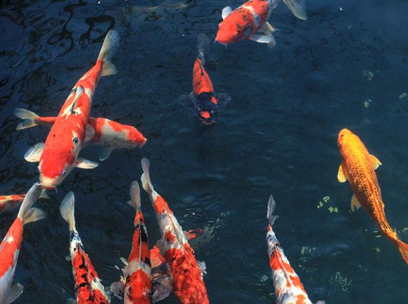 היו מזהים גם את השיר של נטע ברזילי? דגי טוי, סליחה: קוי, בעלי כישרון מוזיקלי מפתיע | צילום: Shutterstock