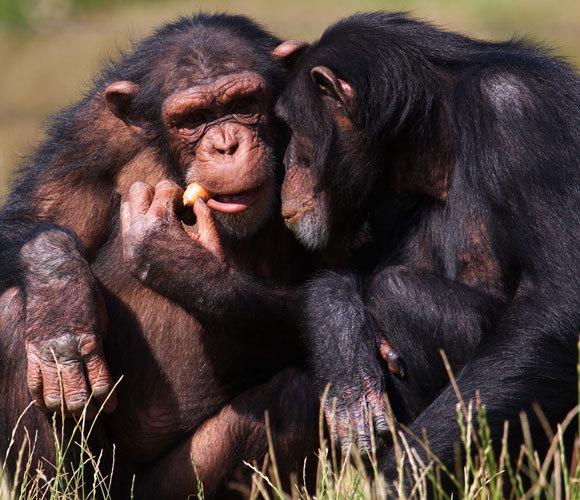 Schimpansen essen Karotten | Foto: Nick Biemans, Shutterstock
