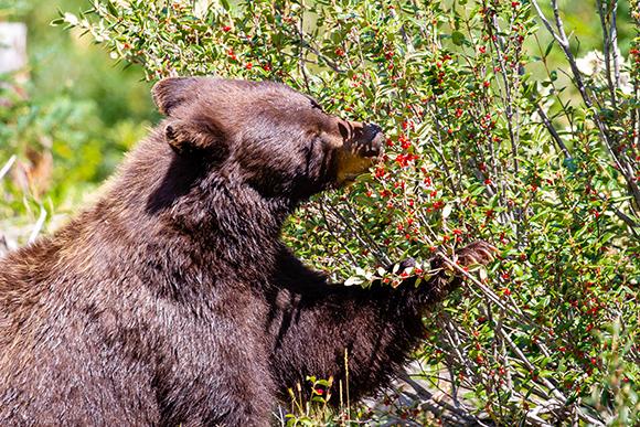 דוב שחור (Ursus americanus) אוכל פירות יער צילום: Michael Tatman Shutterstock