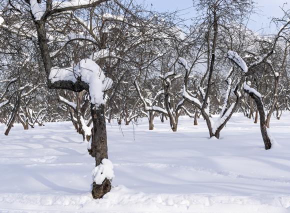 הוא יודע שהחורף הקשה הסתיים עצי תפוח בשלג | Shutterstock, Hanna Alandi