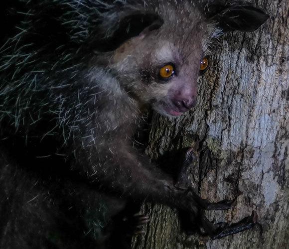 איי איי בוחן גזע עץ באצבעותיו | Shutterstock